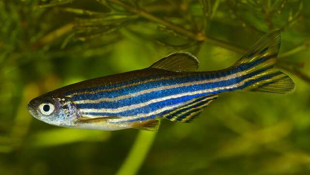 <a href=&#039;https://www.therapidscience.com/tag/zebrafish/&#039; target=&#039;_self&#039; rel=&#039;nofollow&#039; title=&#039;Zebrafish&#039;>Zebrafish</a> useful to model ALS-linked <a href='https://www.therapidscience.com/tag/mutations/' target='_self' rel='nofollow' title='mutations'>mutations</a>