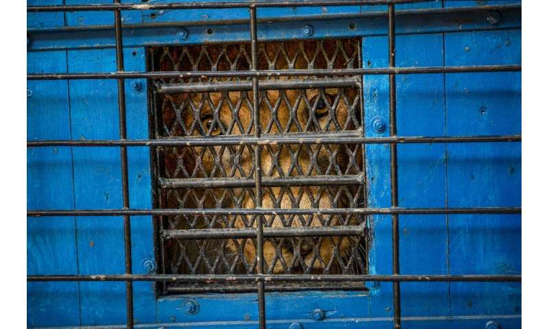 Zhaku in a transportation cage wfor the journey to the Felida Big Cat Centre in the Netherlands