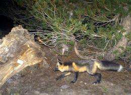 2 more rare red foxes confirmed in Sierra Nevada (AP)