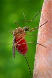 Researchers sequence genome of mosquito that spreads West Nile virus