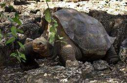Scientists try to mate Galapagos tortoise _ again (AP)