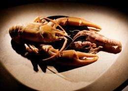 Researchers discover giant crayfish species right under their noses