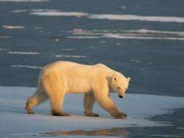 "The United States has classified the polar bear as ""threatened,"" but not endangered"