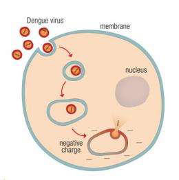 Scientists discover how dengue virus infects cells