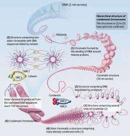 Unlocking the chromosome