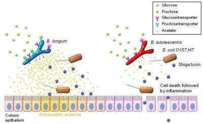 Discovery of 'probiotic transporters' unlocks secrets of infection-preventive bifidobacteria