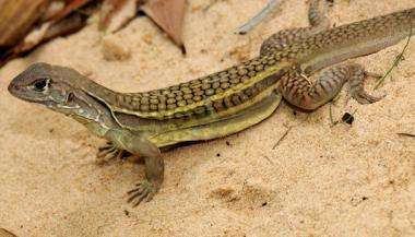 Newly identified self-cloning lizard found in Vietnam