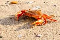 Research reveals exotic Henslow Crabs in North Sea