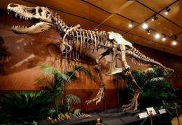"A 66-million-year-old Tyrannosaurus rex skeleton dubbed ""Samson"""