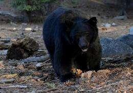 A black bear scavenges for food