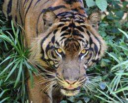 A captive Sumatran tiger pictured at Jakarta's Ragunan Zoo