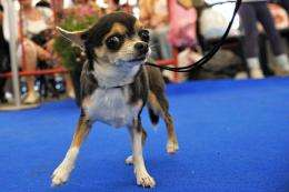 A Chihuahua is walked by its handler at a dog show in the southern Israeli town of Arad in 2008