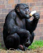 A Chimpanzee licks a popsicle as it cools down in the hot weather at a zoo in England in 2009