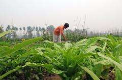 A Chinese farmer tends to crops on the outskirts of Beijing in June