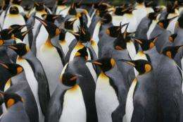 A colony of king penguins huddle together