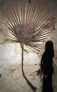 A fossilized palm frond