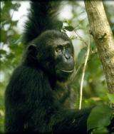 African nations commit to saving chimps