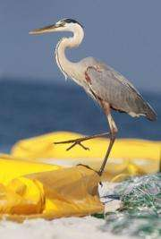 A great blue heron stands on an oil containment boom that is being used to protect the beach