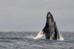 A humpback whale jumps in the waters of the Pacific Ocean