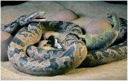 'Anaconda' meets 'Jurassic Park': Study shows ancient snakes ate dinosaur babies