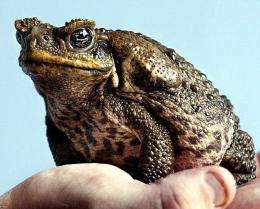 A native of Central America, the cane toad (Bufo marinus) was introduced to Australia in 1935
