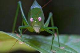 A pink-eyed Caedicia, one of the 42 individuals of the leaf katydids