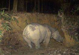 A rare Borneo rhino, thought to be pregnant, has been caught on camera in Malaysia