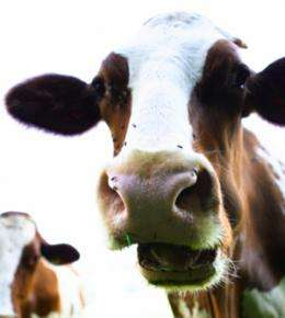 Are cow burps contributing to global warming?