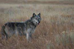 Are wolves saving Yellowstone's aspen trees from elk?