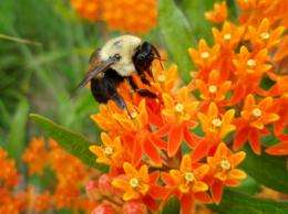 As honeybee colonies collapse, can native bees handle pollination?