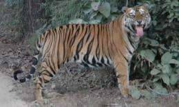 Asian tiger numbers could triple if large-scale landscapes are protected