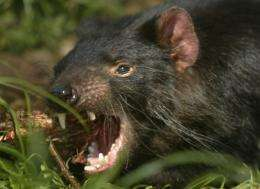 Australia is attempting a desperate bid to save Tasmanian Devils from being wiped out by a hideous face cancer