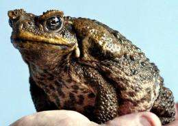 Australia is beset by millions of cane toads which were introduced in the 1930s to control scarab beetles