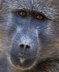 Baboons make sweet discovery in South Africa (AP)