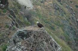 Bald eagle diet shift enhances conservation