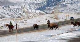 Bison slaughter challenged as habitat effort flops (AP)