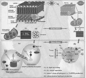 Blueprint for 'artificial leaf' mimics Mother Nature