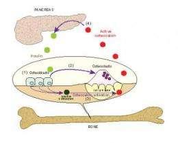 Breakdown of bone keeps blood sugar in check, new study finds
