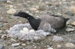 Brent geese show parents know best