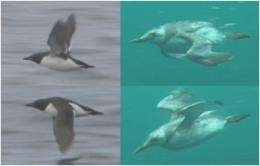 Seabird's morphing wings inspire design for robots that can both fly and swim