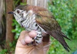 Cuckoo's copying an evolutionary curiosity