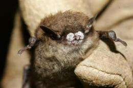 Culling can't control deadly bat disease