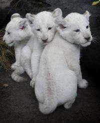 Cute! White lioness bears 3 cubs in Argentina (AP)
