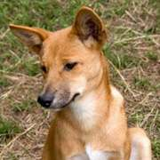 Bring Cattle To Benefit Economic Graziers Dingoes