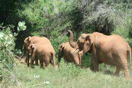 Elephants ready to rumble at sound of bees
