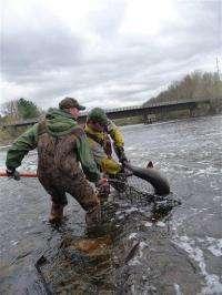 Endangered sturgeon fish flourishing in Wisconsin (AP)