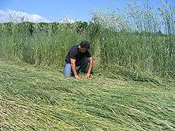 Finding the right time for rolling rye