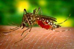 Flightless mosquitoes developed to help control dengue fever
