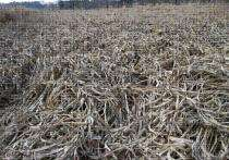 Forage sorghum shows promise as energy crop