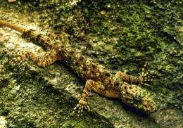Geckoes are known for their distinctive chirping noises